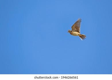 The Eurasian skylark, Alauda arvensis in flight