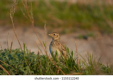 Eurasian skylark (Alauda arvensis) looks out of the grass, preparing to fly for the song (during the breeding season).