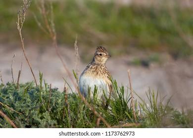Eurasian skylark (Alauda arvensis) looks out of the grass (lifting a tuft).