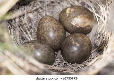 Eurasian skylark (Alauda arvensis) nest