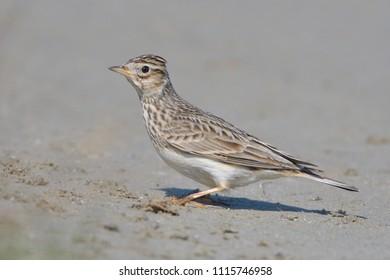 Eurasian Skylark (Alauda arvensis) on the ground