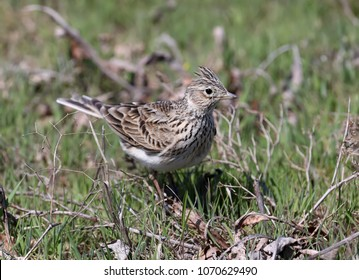 The Eurasian skylark (Alauda arvensis) sits on the green grass. A large plan and a detailed photo