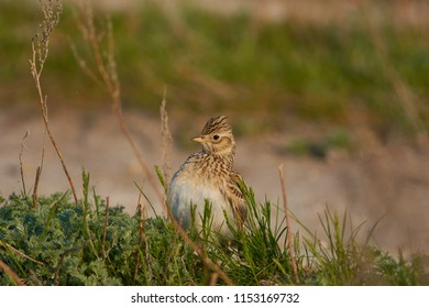 Eurasian skylark (Alauda arvensis) sits in the grass trying to look more impressive (lifting a tuft) during the breeding season.
