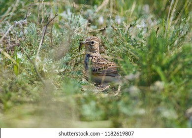 Eurasian skylark (Alauda arvensis) sits in thick grass with prey in its beak - a fat caterpillar.