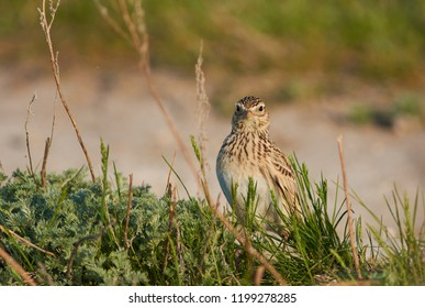 Eurasian skylark (Alauda arvensis) sits in the thick grass and looks straight into the camera lens.