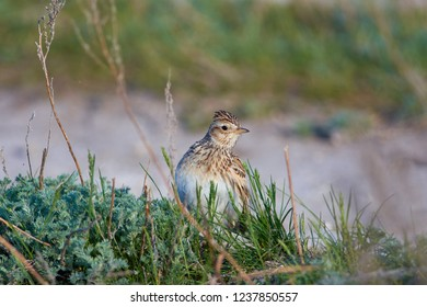Eurasian skylark (Alauda arvensis) sits in the grass, looking out of curiosity.