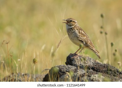 Eurasian Skylark - Alauda arvensis, small brown perching bird from Euroasian meadows singing, Eastern Rodope mountains, Bulgaria.