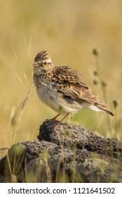 Eurasian Skylark - Alauda arvensis, small brown perching bird from Euroasian meadows singing, Eastern Rodope mountains, Bulgaria.