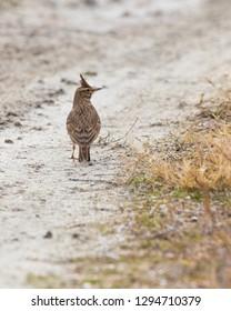 Eurasian skylark bird with charecteristic crest walking on a muddy path in Rodopi, Greece