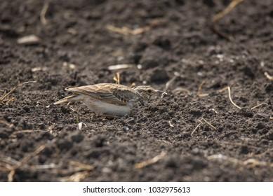 Eurasian Skylark finding a bug in the ground
