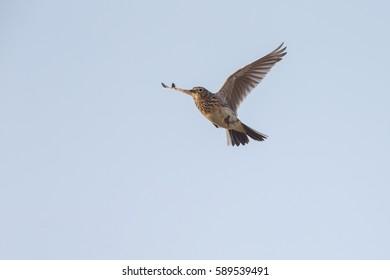The Eurasian skylark in flight