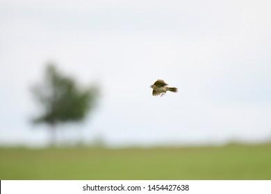 Eurasian skylark in flight over a meadow