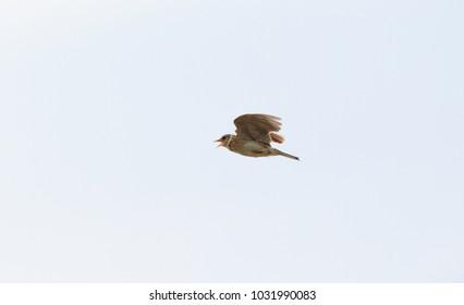 Eurasian skylark or Japanese skylark (Alauda arvensis japonica) in Japan