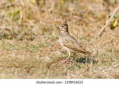 Eurasian skylark on dry grass field
