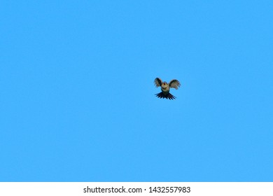 Eurasian skylark singing against blue sky