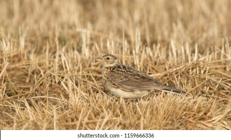 Eurasian Skylark sitting in the grass