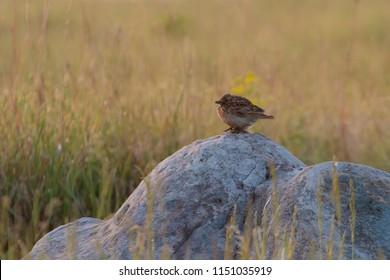 The Eurasian skylark sitting on the stone in the steppe