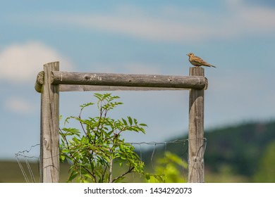 Eurasian Skylark, a small brown bird perching on wooden pole in a pasture with green tree on a sunny spring day. Blue sky with clouds in background.
