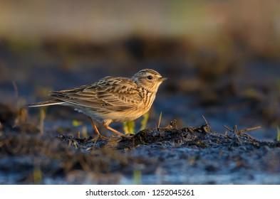 Eurasian skylark stands in warm sweet morning light on the field ground