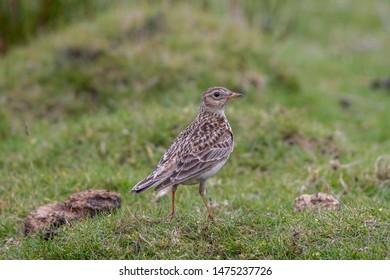 The Eurasian skylark(Alauda arvensis) is a passerine bird in the lark family Alaudidae on the grass in moorland