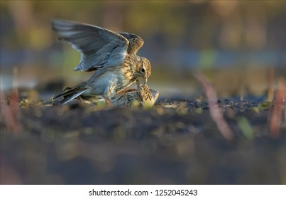 Eurasian skylarks fight against each other on the ground in fierce and severe struggle