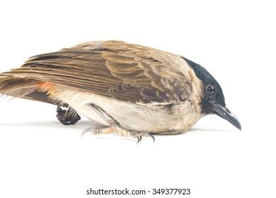 Eurasian Sparrow isolate on white