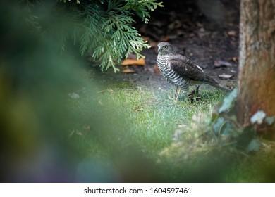 Eurasian sparrowhawk, Accipiter nisus, bird of prey, on the ground after an attack on small garden birds feeding on a bird feeder. Sparrowhawk in the garden. Czech Republic Europe.