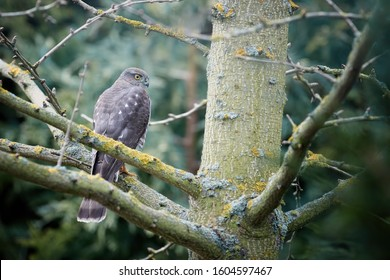 Eurasian sparrowhawk, Accipiter nisus, bird of prey, perched on branch after attack on tiny garden songbirds. Sparrowhawk in the garden. Czech Republic, Europe.