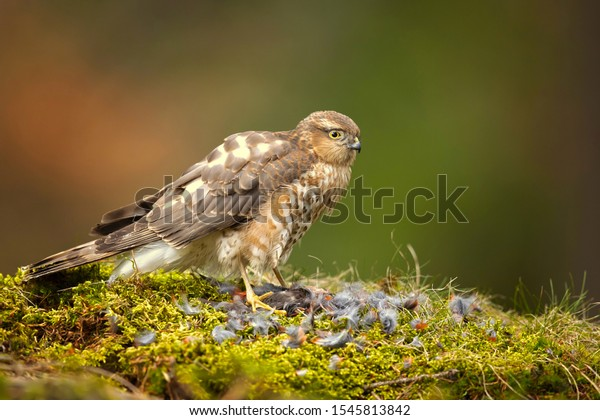 Eurasian sparrowhawk (Accipiter nisus), also known as the northern sparrowhawk or simply the sparrowhawk, is a small bird of prey in the family Accipitridae.