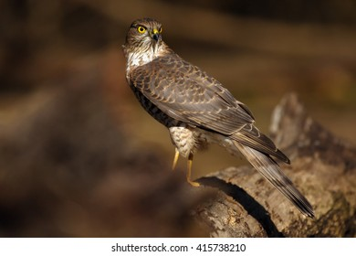 The Eurasian sparrowhawk (Accipiter nisus) on the trunk