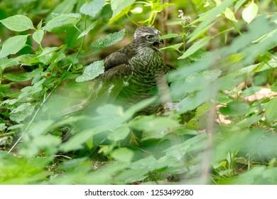 Eurasian Sparrowhawk (Accipiter nisus). Russia. Moscow