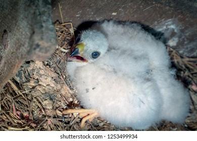 Eurasian Sparrowhawk (Accipiter nisus). Russia. Chick