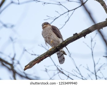 Eurasian Sparrowhawk (Accipiter nisus). Russia.