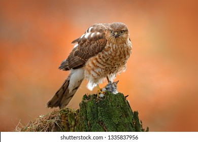 Eurasian sparrowhawk, Accipiter nisus, sitting green tree trunk in the forest with caught little songbird. Wildlife animal scene from nature. Bird in the winter forest habitat. Hawk with kill.