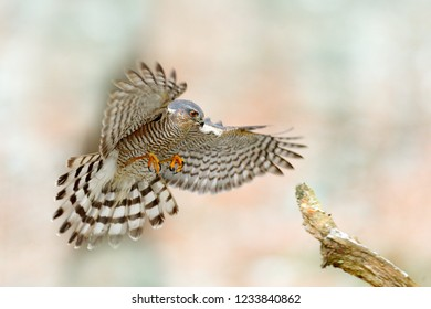 Eurasian sparrowhawk fly, Accipiter nisus, landing on the snow branch in the forest. Wildlife animal scene from nature. Bird in the winter forest habitat. Animal behaviour, Germany, Europe.