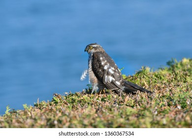 Eurasian sparrowhawk also known as the northern sparrowhawk