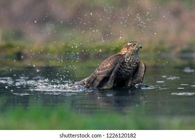 Eurasian Sparrowhawk takes a bath, the Netherlands
