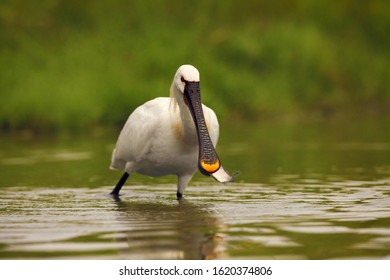 Eurasian Spoonbill or Common Spoonbill (Platalea leucorodia) with a fish in its beak. A large white water bird with a fish in its beak on a green background.