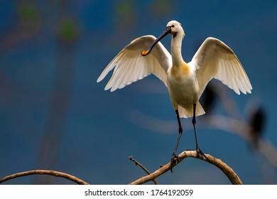 A Eurasian spoonbill (Platalea leucorodia) in Bird sanctuary, on Lake Kerkini, Greece