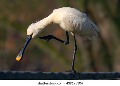 Eurasian Spoonbill, Platalea leucorodia, by the water, detail portrait of bird with long flat bill, Camargue, France. Water bird in the nature habitat.