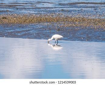 Eurasian spoonbill, Platalea leucorodia, foraging by wading in shallow water on Wadden Sea coast in Netherlands