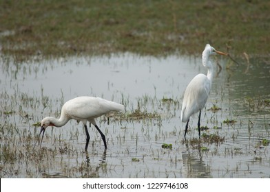 Eurasian spoonbill (Platalea leucorodia) (left) searching for food and great egret (Ardea alba) (right). Keoladeo Ghana. Bharatpur. Rajasthan. India.