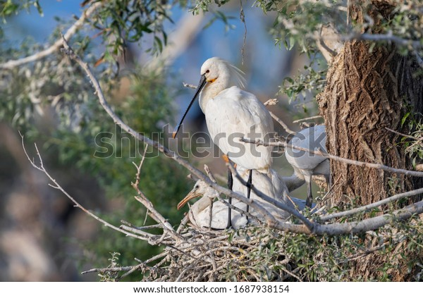 Eurasian spoonbill stands in its nest. Nesting spoonbill from Kerkini lake in Greece.
