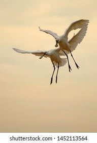 Eurasian Spoonbills get ready to land