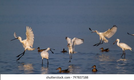 Eurasian spoonbills landing in the Oostvaardersplassen in the Netherlands
