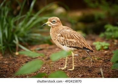 Eurasian stone-curlew or  Eurasian thick-knee, Burhinus oedicnemus, close up photo of well camouflaged bird, large wader, summer migrant. Danube delta, Europe.