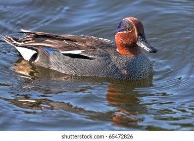 The Eurasian Teal (Anas crecca, male) is the smallest dabbling duck
