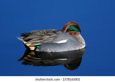The Eurasian Teal or Common Teal (Anas crecca) is a common and widespread duck which breeds in temperate Eurasia and migrates south in winter. Male.
