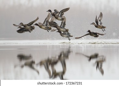 Eurasian Teal or Common Teal  / Anas crecca in flight