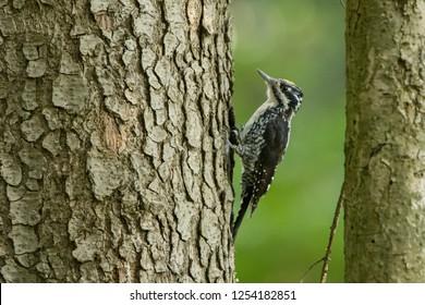 Eurasian Three-toed Woodpecker (Picoides tridactylus). Bieszczady Mountains. Poland